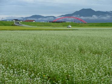 そば畑と古志大橋