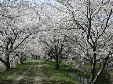 新川沿いの桜